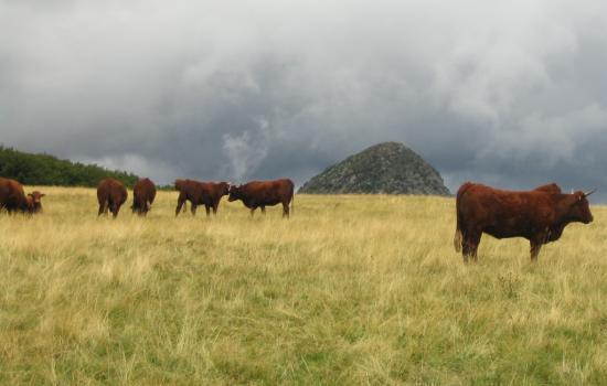 Vaches salers et Gerbier de Jonc au fond