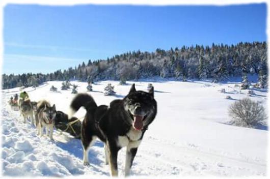 Attelage chiens traineau plateau ardéchois