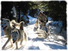 Attelage de chiens de traineau en sous bois