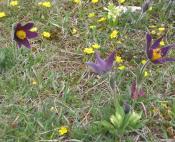 Richesse d'une flore endémique du causse